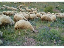 Koyun ve keçi ölümlerine dikkat